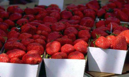 Dans le champ de fraises