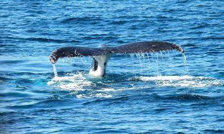 Travail d'été et baleines sur la Côte-Nord